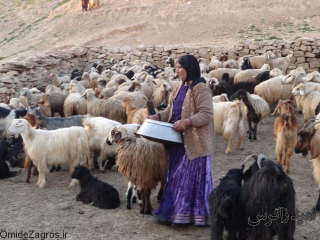 سارقان گوسفندان عشایر منطقه سردسیری دیلگون را غارت کردند