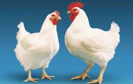 توجیه مدیرکل تعزیرات کهگیلویه و بویراحمد درباره قیمت مرغ